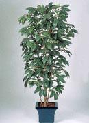кофейное дерево, 180см