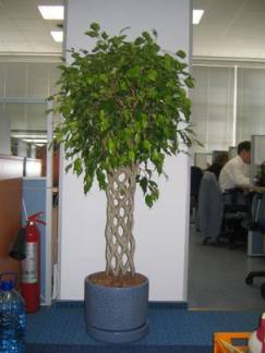 Цветы в горшках в офис купить